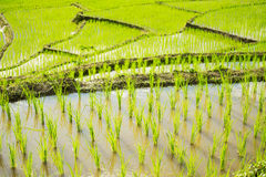 Close up green paddy rice field Chiang Mai ,Thailand. Selective focus point Royalty Free Stock Photo
