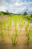 Close up green paddy rice field Chiang Mai ,Thailand. Selective focus point. Royalty Free Stock Photo
