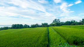 Close up of green paddy rice. Green ear of rice in paddy rice fi Royalty Free Stock Image