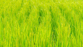 Close up of green paddy rice. Green ear of rice in paddy rice fi Royalty Free Stock Photos