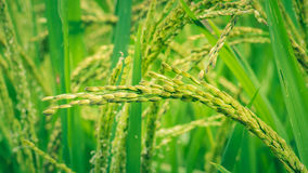 Close up of green paddy rice plant on Bali, Indonesia Stock Photo