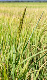 Close up of green paddy rice plant Royalty Free Stock Photos