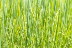 Close up of green paddy rice plant. Thailand, Royalty Free Stock Photo