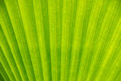 Close up Green palm leaf nature texture and background Royalty Free Stock Photography