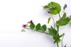 Close up  green pea stem  with purple flower and leaf on the white background. Copy space stock photography