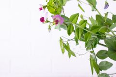 Close up  green pea stem  with purple flower and leaf on the white background. Selective focus. Copy space stock image
