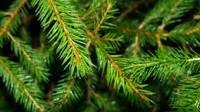 Close up of green pine needles stock photo