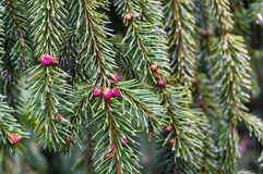 Close up of green pine tree branches with cones Stock Photos