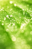 Close-up of green plant leaf and water drops Royalty Free Stock Images