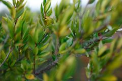 Close up of green plants, bush of the Corsica island, France. Temperature of vegetation. Horizontal view. royalty free stock images