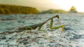 Close up of green praying mantis on a white stone. Macro, 4k stock video footage