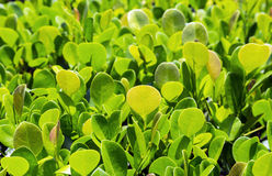 Close up of green privet hedge Royalty Free Stock Photography