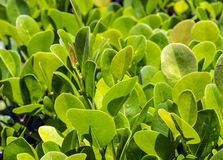Close up of green privet hedge Stock Photos