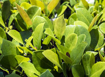 Close up of green privet hedge Stock Photo