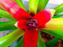 Close up of green red leaf bromeliad Stock Photos