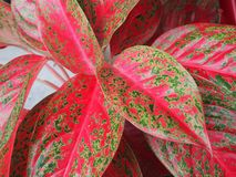 Close up green red leaf caladium leaf plant texture in nature for background. royalty free stock images