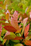 Close up of green and red leaves with water drops. Green and red leaves of evergreen plant (Photinia fraseri Red Robin) after rain Stock Photography