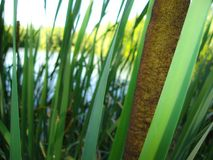 Close up of green reed background stock image