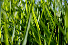 Close-up of green reed Stock Photography