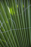 Close up of green ribbed palm leaf Stock Photos