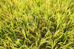 Close-up green rice field Stock Images