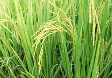 Close up of green rice field in thailand Royalty Free Stock Photos