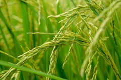 Close up of a green rice field stock image