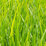 Close up of green rice leaves Royalty Free Stock Photo