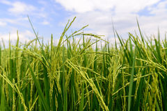 Close up of green rice paddy in rice field Royalty Free Stock Photo