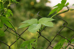 Close up of green ripe hop branch. Beer production ingredient. I royalty free stock photo