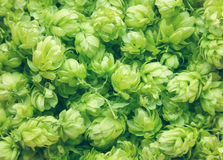 Close up of green ripe hop cones. Nature background. Beer production ingredient. View from above of a pattern from hop cones Royalty Free Stock Photo