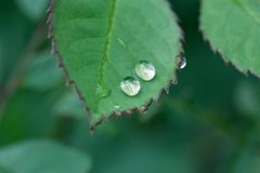 Green leaf with dew drops closeup. Nature Background. Close-up of green rose leaves with raindrops. background of dew drops on bright green leaf. green leaf with Royalty Free Stock Photography