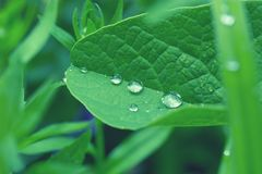 Green leaf with dew drops closeup. Nature Background. Close-up of green rose leaves with raindrops. background of dew drops on bright green leaf. green leaf with Royalty Free Stock Image