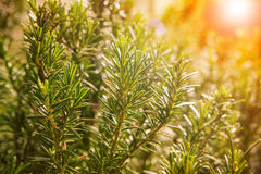 Close up of green rosemary leaves in agriculture plantation Royalty Free Stock Photography