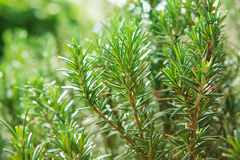 Close up of  green rosemary leaves in agriculture plantation wit Royalty Free Stock Image