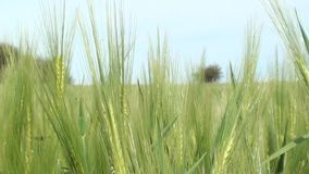 Close-up of green rye. Unripe rye ears swaying in the wind stock footage