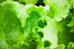 Close up of green salad. Concept of healthy lifestyle. Selective focus Royalty Free Stock Photography