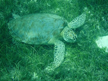Close up of a Green Sea Turtle (Chelonia mydas) Feeding on Seagrass in Sunlit, Shallow Caribbean Seas with Cleaning Gobies. Royalty Free Stock Photo