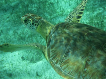 Close up of a Green Sea Turtle (Chelonia mydas) in Sunlit, Shallow Caribbean Seas. Close up of a Green Turtle (Chelonia mydas) swimming over Seagrass in sunlit Stock Photography