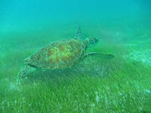 Close up of a Green Sea Turtle (Chelonia mydas) Swimming Over Seagrass in Sunlit, Shallow Caribbean Seas. Close up of a Green Turtle (Chelonia mydas) swimming Stock Photos