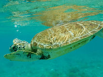 Close up  of Green Sea Turtle (Chelonia mydas) Swimming. Close up of a Green Sea Turtle (Chelonia mydas) swimming in sunlit, shallow Caribbean seas. Tobago Cays Stock Photos