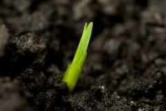 Close up of a green seed. Horizontal side view of a small green plant in dark soil Stock Image