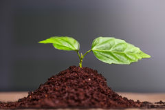 Close-up of green seedling growing out of soil Royalty Free Stock Images