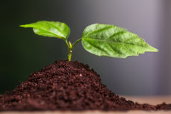 Close-up of green seedling growing out of soil Royalty Free Stock Photography