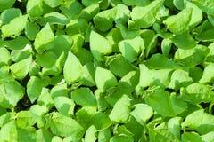 Close-up of green seedling of Magnoliophyta growing in the pot. Close-up of green seedling of Magnoliophyta growing in the pot in the nursery Stock Image