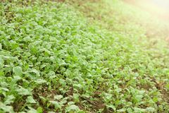 Green seedlings growing out of soil Royalty Free Stock Images