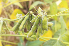 Close up of a green soybean plant. Royalty Free Stock Photo