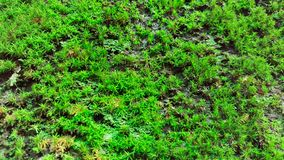 Close-up green sphagnum moss Royalty Free Stock Photo