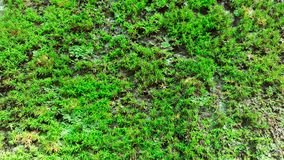 Close-up green sphagnum moss Royalty Free Stock Photos