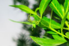 Close up of a green spider hanging on by a leaf with a single thread stock image